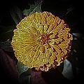 Marigold Digitized by Louise Mingua