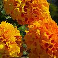 Marigold Mops by Jo-Anne Gazo-McKim