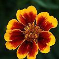 Marigold by Rob Luzier