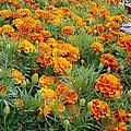 Marigolds by Barbara Fonseca