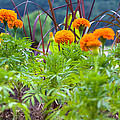 Marigolds by Melinda Fawver