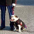 Marine Bull Dog by Kenneth Summers