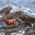 Marine Iguana Trio And Sally Lightfoot by Tui De Roy
