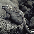Marine Iguanas Galapagos Islands by Larry Minden