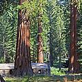 Giant Sequoias Mariposa Grove by John Stephens