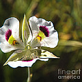 Mariposa Lily by Robert Bales