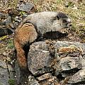 Marmot 1 by Rick and Dorla Harness