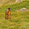 Marmot Barking At Rock Cut In Rocky Mountain National Park by Fred Stearns