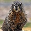 Marmot by Mae Wertz