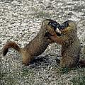 4m09150-02-marmot Fight by Ed  Cooper Photography