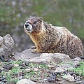 Marmot On The Edge by Charles Robinson