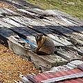 Marmot Resting On A Railroad Tie by Chris Flees