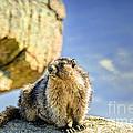Marmot by Viktor Birkus