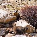 Marmots On Mount Evans by Steve Krull