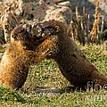 Marmots Playing At Rock Cut In Rocky Mountain National Park by Fred Stearns