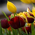 Maroon And Gold Tulips by Benjamin Reed