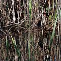Marsh Dwellers by Skip Willits