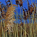 Marsh Grass At Northside Park by Bill Swartwout Fine Art Photography
