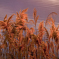 Marsh Reeds Aglow  -  150218a-162 by Albert Seger