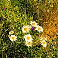 Marshall Point Daisies by Robert McCulloch