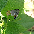 Martial Scrub Hairstreak Butterfly by Kimberly Perry