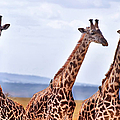 Masai Giraffe by Adam Romanowicz
