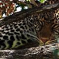 Masai Mara Leopard  by Aidan Moran
