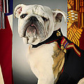 Mascot Of The United States Marine Corps by Mountain Dreams