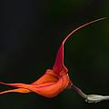 Masdevallia Orchid II by Dale Kincaid