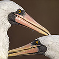 Masked Booby Couple Allopreening by Tui De Roy