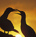 Masked Booby Couple Courting At Sunset by Tui De Roy