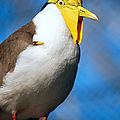 Masked Lapwing Bird by Donna Proctor