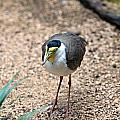 Masked Lapwing by Paul Fell