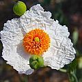 Matilija Poppy Buds And Bloom by Denise Mazzocco
