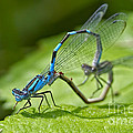 Mating Damselflies by Sharon Talson