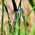 Mating Dragonflies by David Broome