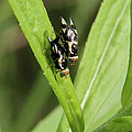 Mating Fruit Flies by Doris Potter