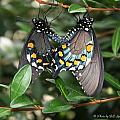 Mating Swallowtails by Bill Spittle