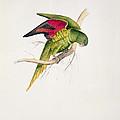 Matons Parakeet by Edward Lear