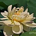 Mature Lotus Flower And Cute Hovering Honeybee by Byron Varvarigos
