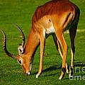 Mature Male Impala On A Lawn by Nick  Biemans