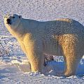 Mature Polar Bear by Randy Green