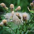 Maturing Weed by M Dale