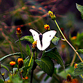 Maui Butterfly by Patricia Griffin Brett