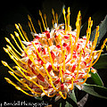 Maui Protea by Roy Bendell