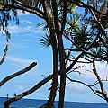 Maui Tree Silhouette by Amy Fose