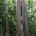 Maui Trees by Pamela Smith