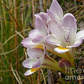 Mauve Freesia In The Wild by Kaye Menner