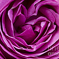 Mauve Rose Petals by Carrie Cranwill