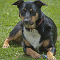 Max Kelpie Border Collie Cross by Patrick OConnell